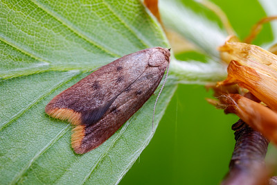 Micromoth