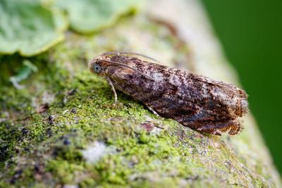 Tortrix moth