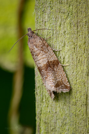 Tortix moth