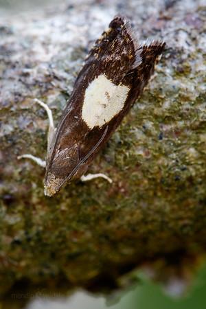 Micro moth
