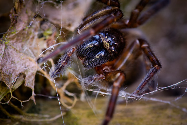 Lace Weaver Spider