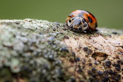 10-spot Ladybird