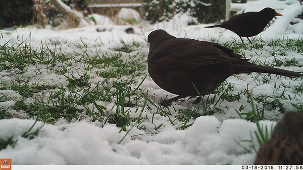 Blackbirds - Turdus merula