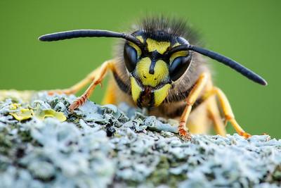 German Wasp (worker)