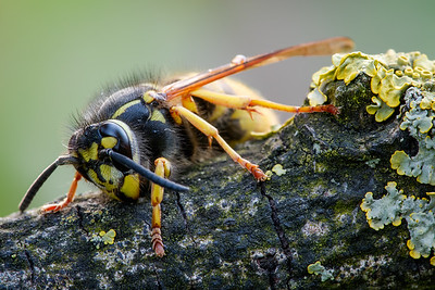 German Wasp (Queen)