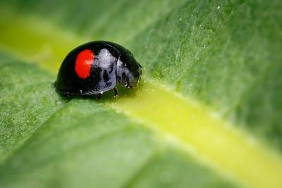 Kidney-spot Ladybird