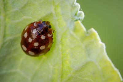 Cream-spot Ladybird