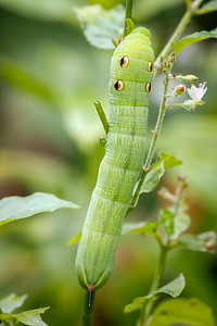Elephant Hawkmoth Caterpillar