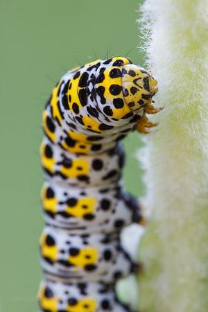 Mullien Moth