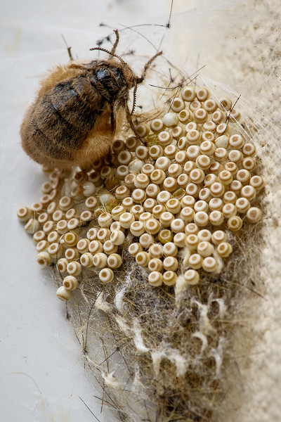 Vapourer Moth - Orgyia antiqua