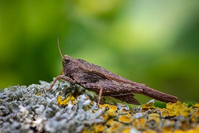 Slender Groundhopper