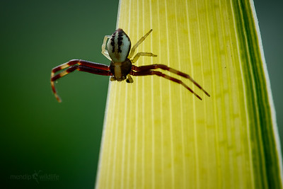 Crab Spider (male)