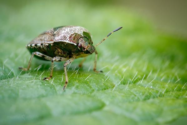 Woundwort Shieldbug