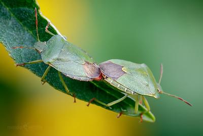 Common Green Shieldbugs