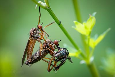 Empid Fly