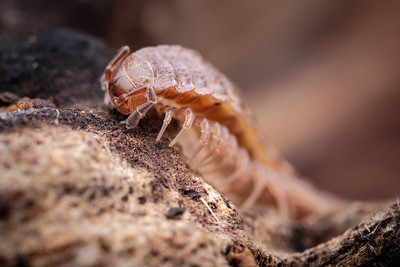 Flat-backed millipede