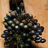 SAJ1480 Pollia secundiflora