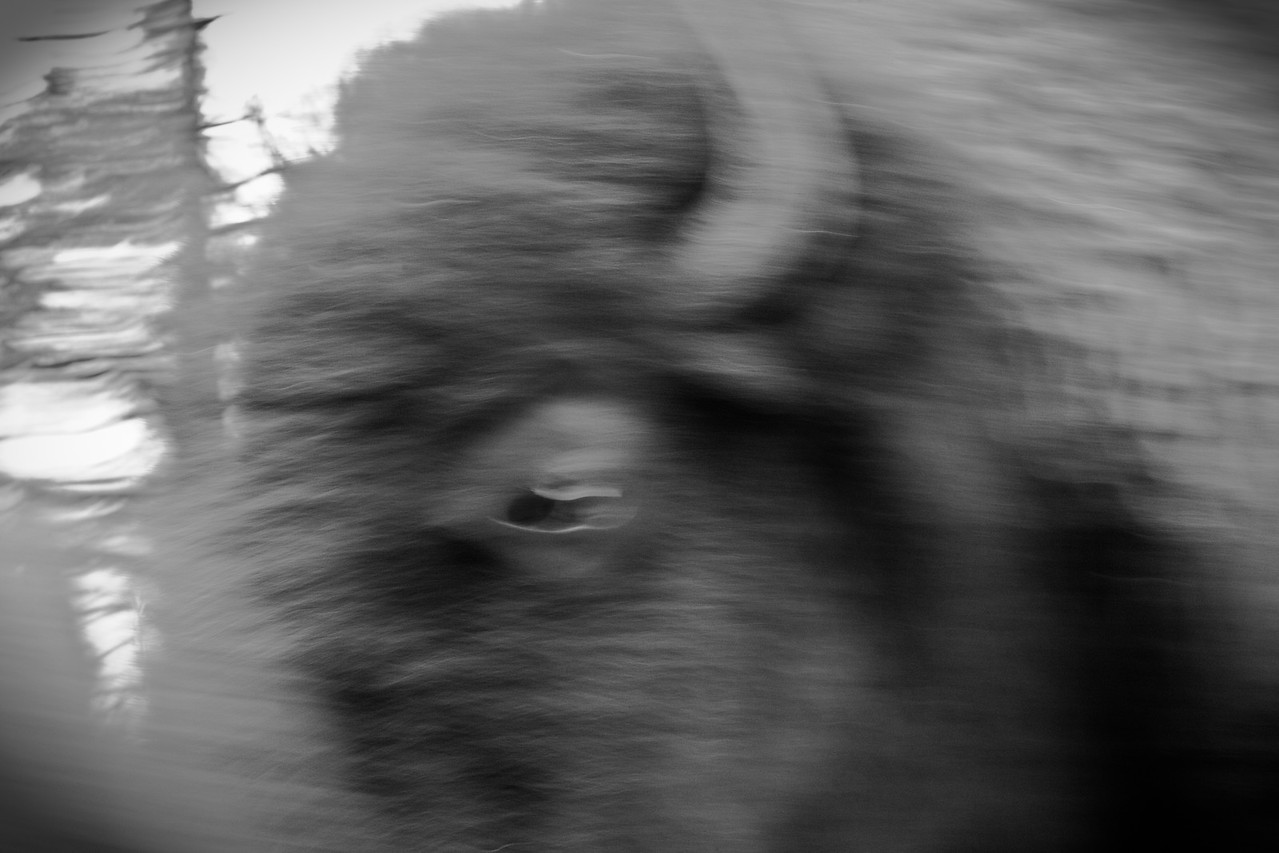 Bison Blur
