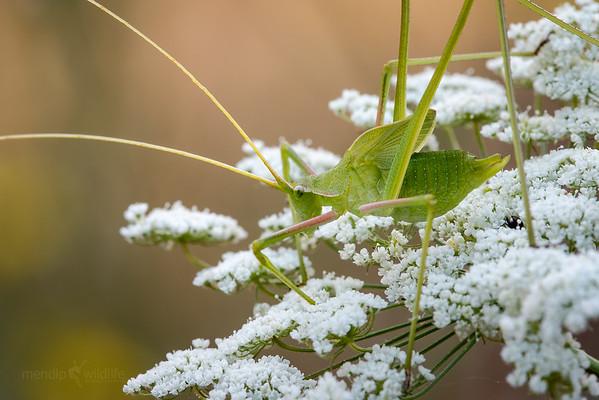 Serville's Long-legged Bush-cricket