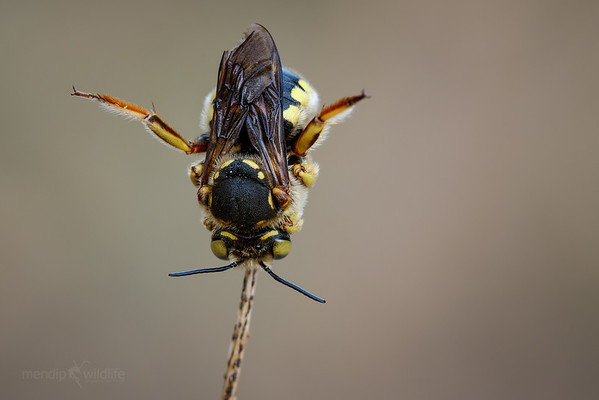 European Wool Carder Bee