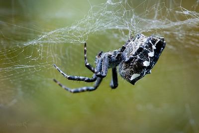 Tent-web Spider