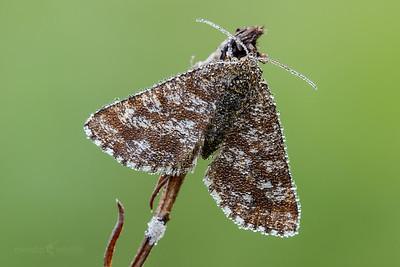 Common Heath Moth