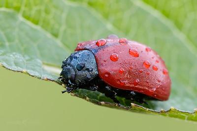 Red poplar leaf beetle