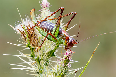 Black Saw Bush Cricket
