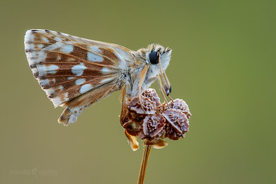 Orbed Red Underwing Skipper