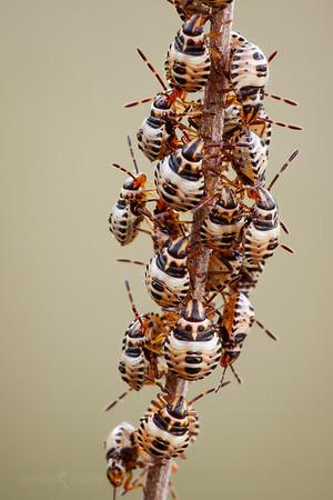 Shieldbug larvae