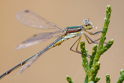 Small Spreadwing