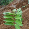 SAJ0049 Freycinetia salamauensis
