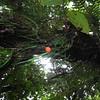 SAJ0183 Freycinetia brachyclada