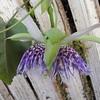 SAJ0582 Passiflora