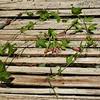 SAJ0745 Passiflora mollissima
