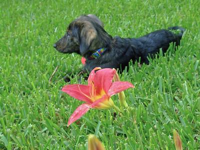 Pink Lily, Black Dog
