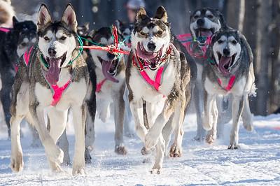 Happy Iditarod Dogs