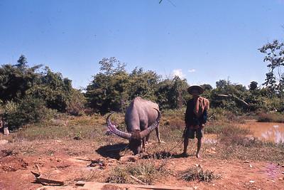 Thai framer and buffalo