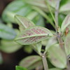 Conn5415 Peperomia tenuipila