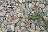 Mulgedium tataricum, Sandsallat, Asteraceae, Korgblommiga