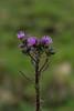 Carduus palustre, Kärrtistel, Asteraceae, Korgblommiga