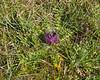 Cirsium acaule, Jordtistel, Asteraceae, Korgblommiga