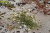 Tripleurospermum maritimum, Kustbaldersbrå, Asteraceae, Korgblommiga