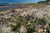 Cirsium arvense, Åkertistel, Asteraceae, Korgblommiga