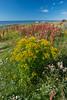Tanacetum vulgare, Renfana, Asteraceae, Korgblommiga
