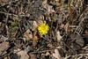 Tussilago farfara, Hästhov, Asteraceae, Korgblommiga