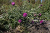 Carduus acanthoides, Piggtistel, Asteraceae, Korgblommiga