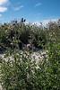 Cirsium arvense maritimum, Åkertistel, Asteraceae, Korgblommiga
