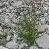 Lactuca tatarica, Sandsallat, Asteraceae, Korgblommiga