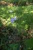 Cardamine bulbifera, Tandrot, Brassicaceae, Korsblommiga